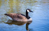 Canada Goose by John Bailey