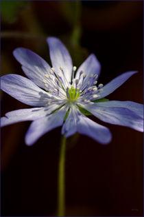 Hepatica, blau by lisa-glueck