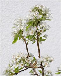 Birnbaumblüte vor Hauswand von lisa-glueck