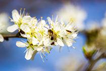 Kleine Biene auf der Kirschblüte von Dennis Stracke