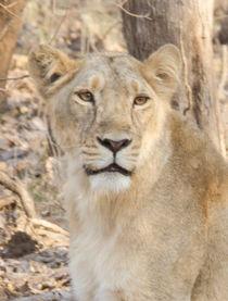Lioness Stare von Pravine Chester
