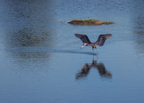 Reddish Egret Looking for Lunch by John Bailey