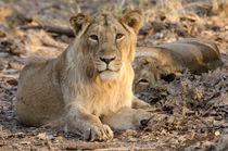 Young Lion von Pravine Chester