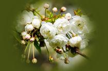 Kirschblütenpracht von Evienna Aigner
