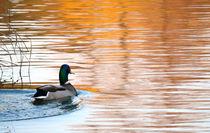 Ente im Wasser von Evienna Aigner