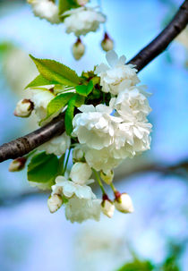 Kirschblütenzeit von Evienna Aigner