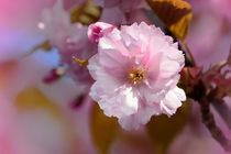 Kirschblüten by Evienna Aigner