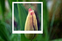 Polaroid tulip von leddermann