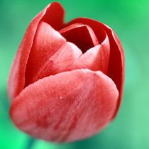 tulip by Jens Berger