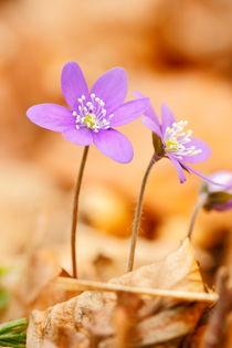 Leberblümchen von Simone Splinter