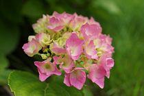 Hortensie pink by leddermann