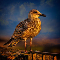 Steven Seagull by Chris Lord