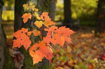 Roter Ahorn - Herbstfärbung von Wolfgang Dengler