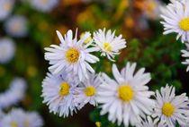 Asternblüte von Wolfgang Dengler