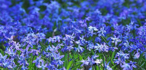 Blue-flowers-e1