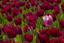 purple tulips by Barbara Brolsma