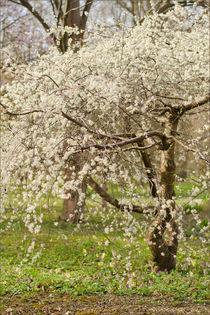 Blühender Obstbaum von lisa-glueck