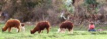 Lamas beim weiden von reisemonster
