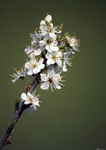 Blüte by bagojowitsch