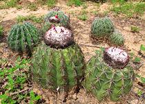 blühender Kaktus von reisemonster