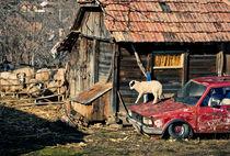 Heavy Lamb by David Pinzer
