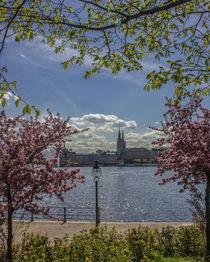 Kirschblüten an der Alster Hamburg von Dennis Stracke