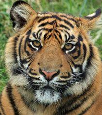 Siberian tiger by Alex Ursache