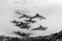 Dolphins by Christian Schlamann