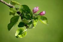 Apfelblütenknospen by Heidrun Lutz
