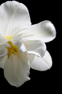 Weiße Tulpe von Heidrun Lutz