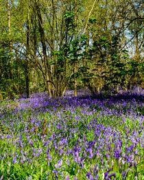 Bluebell Woods #1 von Gerry Walden