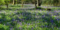Bluebell Woods #3 von Gerry Walden