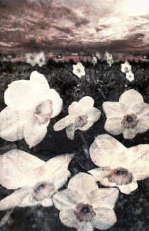 Narcissuses by florin