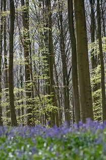 bluebells in a beech forest by Barbara Brolsma