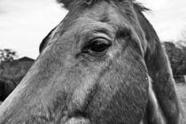 Pferde 008  -  horse eye von leddermann