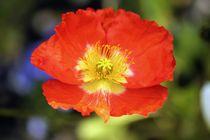 Flower  von Luisa Azzolini