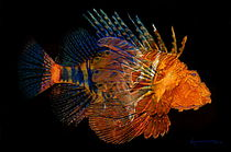 Lionfish 3 by Kume Bryant