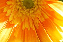 Sunshine Dahlia by Ruth Baker