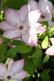 Clematis by Ruth Baker