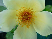 Christmas Rose by Ruth Baker