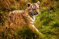 Tiger cub by Sam Smith