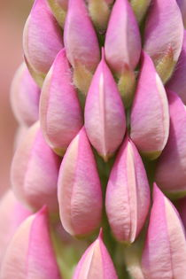 Pink Lupin by Ruth Baker
