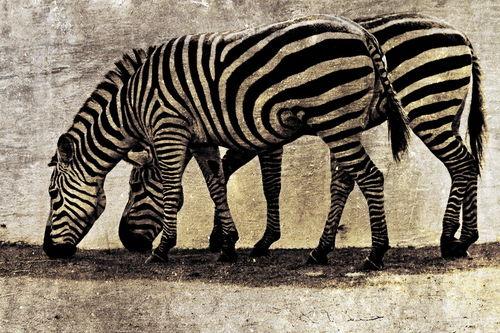2-st-zebras-cut-6000sw-h