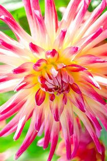 Dahlienzauber in Pink und Weiss by MaBu Photography