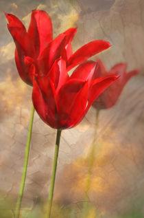 Von Tulpen geträumt by © Ivonne Wentzler
