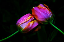 Tulpen - Love by Evienna Aigner