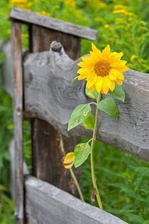 Sonnenblume von Andreas Müller