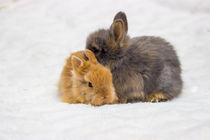 Wir wollen nur kuscheln Löwenkopfkaninchen by Dennis Stracke
