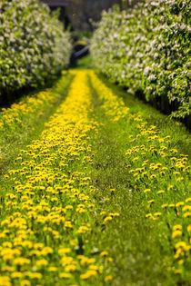 Blumenmeer im alten Land von Dennis Stracke