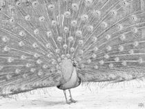 Peacock Full Spread Drawing by jfantasma-artistry